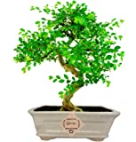 Abana Homes Chinese Elm Bonsai Live Plant with Beautiful Bonsai Pot - Home Decor
