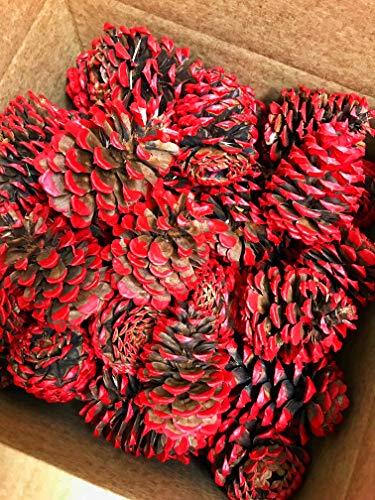 VanCortlandt Farms 50 Red Tipped Ponderosa Pine Cones