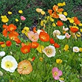 David's Garden Seeds Flower Poppy Iceland SL3311 (Multi) 500 Open Pollinated Seeds