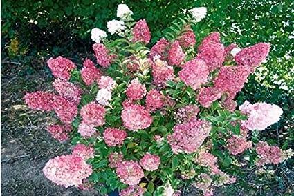 Amazon.com: (5 galones) Hortensia, (versión corta de la ...