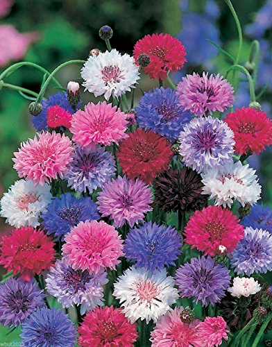 Cornflower,bachelor Button,blend of Vivid Blue,pink, Purple,and White,1000 -