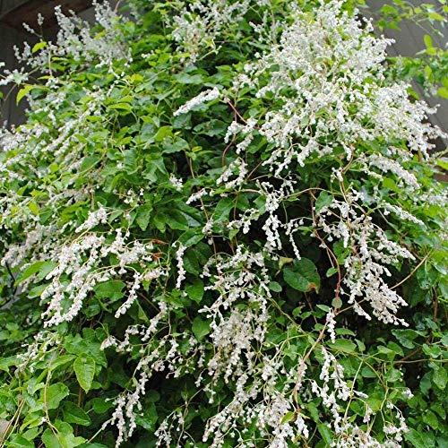 Silver LACE Vine Polygonum Aubertii - 10 Seeds