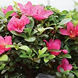 "Brussel's Live Satsuki Azalea Outdoor Bonsai Tree - 5 Years Old; 6"" to 8"" Tall with Decorative Container"