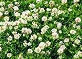 White Dutch Clover Seed: Untreated, Non-GMO, 5 Pounds
