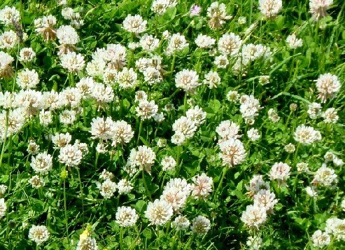 - White Dutch Clover Seed: Untreated, Non-GMO, 10 Pounds