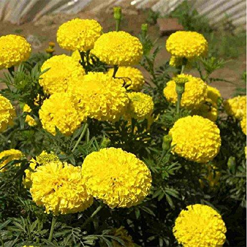 home-garden-20-seeds-african-marigold-crackerjack-mixed-color-tagetes-erecta-flower-seeds