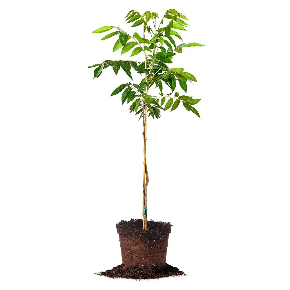 KIOWA PECAN TREE - Size: 5 Gallon, live plant, includes special blend fertilizer & planting guide by PERFECT PLANTS