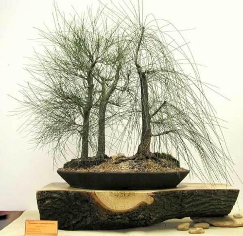 New River She-Oak , Casuarina cunninghamiana , 50 + Tree Seeds ( Fast , Evergreen - Casuarina Stores