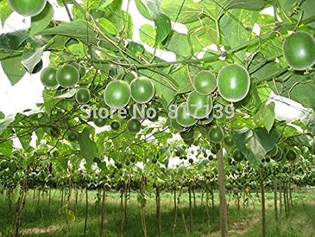 Siraitia grosvenorii Monksfruit Seeds 3+ Medicinal Fruit Seeds FREE 6 Variety Seed Pack a $29.95 Value!!