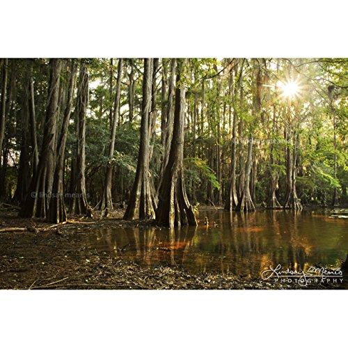 Cypress Tree Photo,