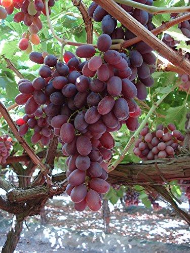 grapes tree - 8