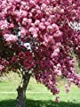 Arnold Arboretum Crab Apple Tree Seeds 30 Seeds Upc 646263362358