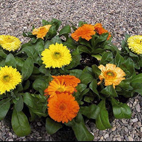Calendula Gem Mix Dwarf 50 Seeds