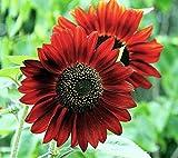 Sunflower Helianthus annuus Red Sun Flower Seeds from Ukraine
