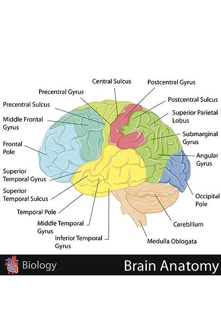 amazon com: human brain anatomy regions labeled educational chart poster  36x24 inch: home & kitchen