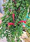 Mini Garden Curly Q Lipstick Plant Rooted Flowering Vine Aeschynanthus Radicans Mona Lisa
