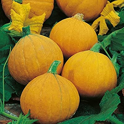 Kings Seeds - Winter Squash Gold Nugget - 15 Seeds
