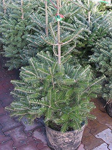 15 Seeds Korean Fir Abies Koreana Ornamenta Pine Tree