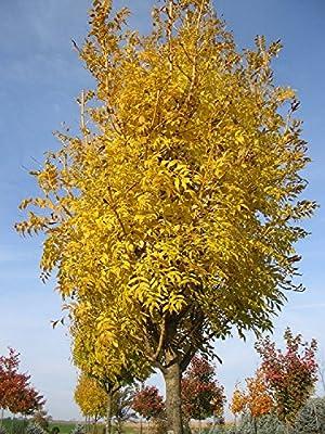 100 Seeds Fraxinus Common Ash Shrub golden-yellow Leaves Garden Road Tree