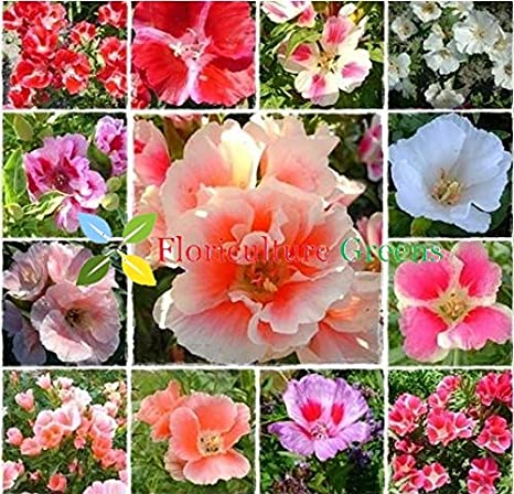 Floriculture Greens Godetia Flower Mix Colors Hybrid Seeds For Home Gardening Planting Amazon In Garden Outdoors