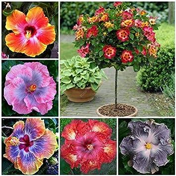 AGROBITS Semillas: 200pcs Plantas Raras Hermoso Arco Iris árbol de Jardines Plantas para Jardin Bonsai para la decoración del jardín: púrpura: Amazon.es: Juguetes y juegos