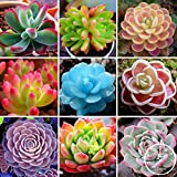 100 Rare Mix Lithops Seeds Living Stones Succulent Cactus Organic Garden Bulk Seed,#ICZD6Q