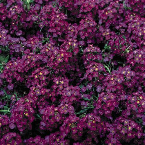 Outsidepride Alyssum Deep Purple Groundcover Seed - 2000 Seeds