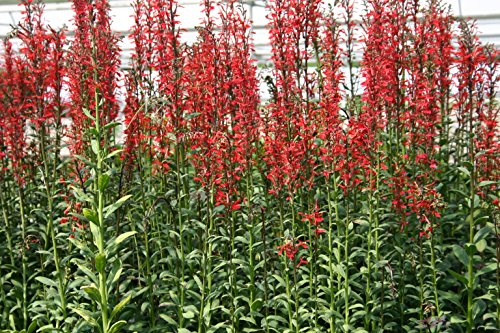 POND PLANT, CARDINAL FLOWER