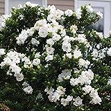 Jubilation Gardenia - Southern Living - Live Plant - Trade gallon Pot