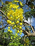 10 Cassia Fistula Seeds / Golden Shower Tree / Yellow Flower / Bactyrilobium Fistula