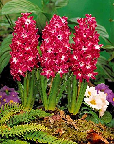 11 x 11 x 19 cm Willemse France 010036 Red Magic Lot de 5 Plantes Jacinthes /à c/œur Multicolore