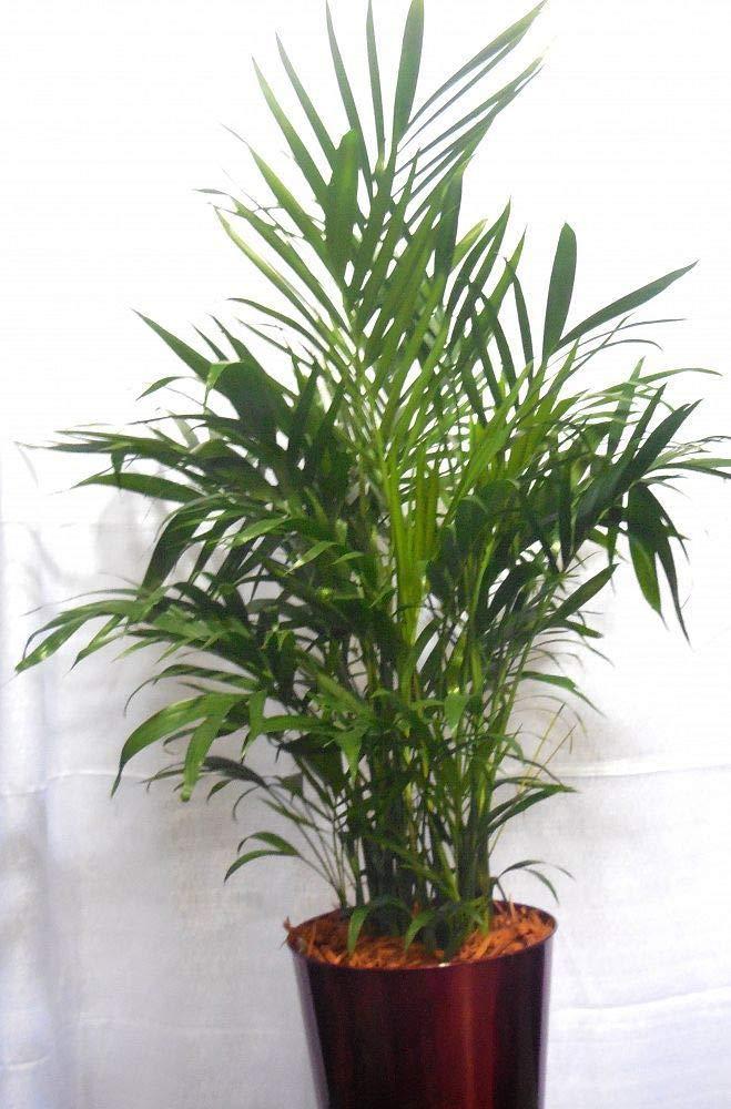 Chamaedorea cataractarum, Cat Palm - 7 Gallon Live Plant by plantvine (Image #1)