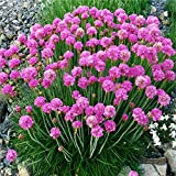 1 Healthy Starter Plant of Armeria Splendens