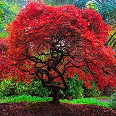 Amazon Com Autumn Fire Weeping Japanese Maple 3 Year Live