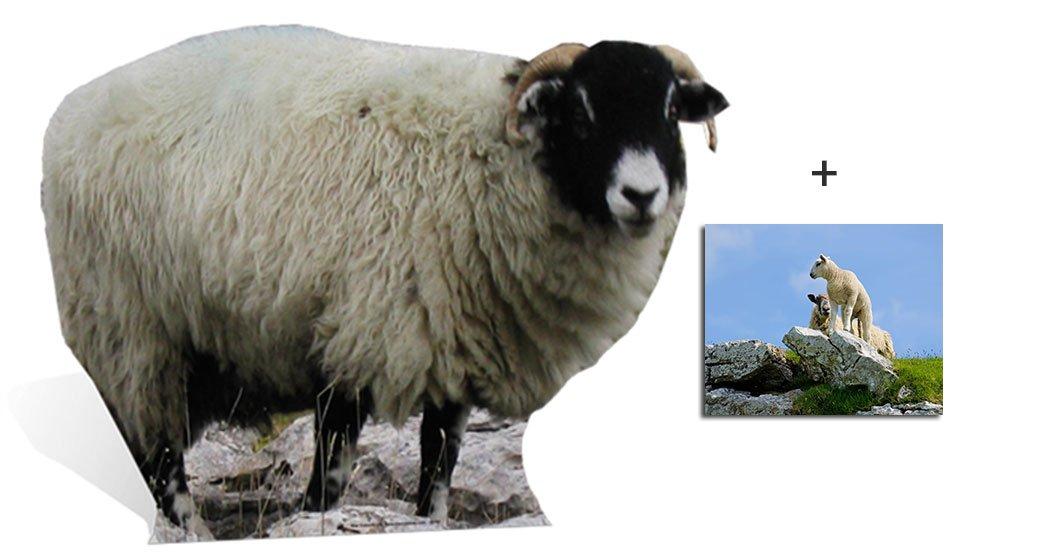 Sheep - Wildlife/Animal Lifesize Cardboard Cutout / Standee / Standup - Includes 8x10 (20x25cm) Star Photo