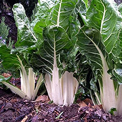 Swiss Chard Garden Seeds - Lucullus - Non-GMO, Heirloom Vegetable Gardening & Microgreens Seeds