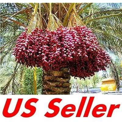 10 Medjool Date Palm Seeds E140, Phoenix dactylifera Large Fruit Mejhool Dates : Garden & Outdoor