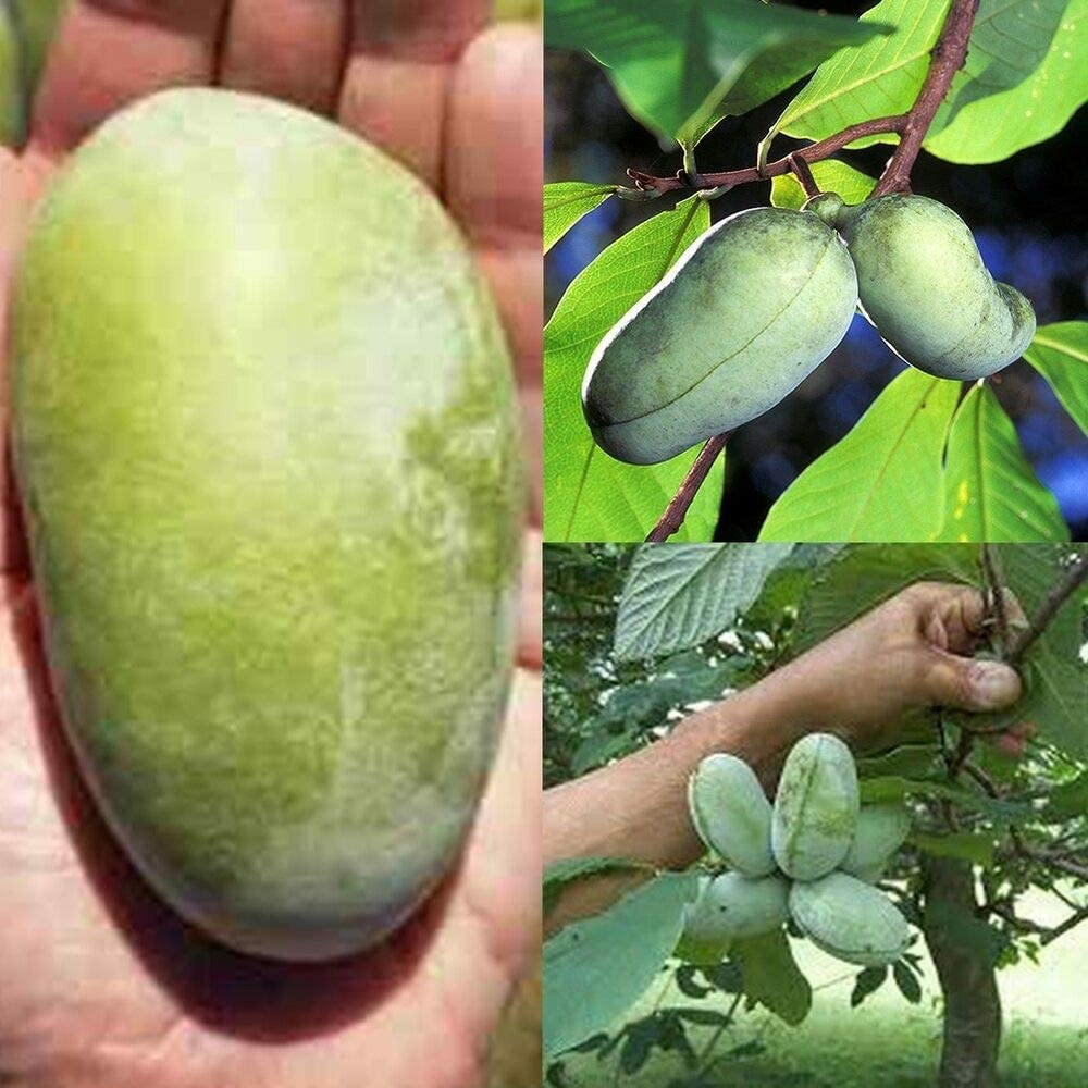 Deciduous Garden Exotic Fruits Plants Pawpaw Tree Seeds Hardy Perennial Rare Paw Paw Asimina triloba
