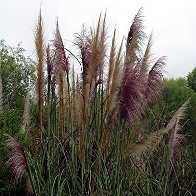 Pampas Grass Mix Ornamental Grass Seeds (Cortaderia selloana) 200+Seeds : Garden & Outdoor