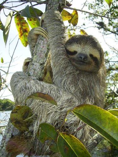 Three Toed Sloth Poster Photo Wild Animals Posters 11X14 -