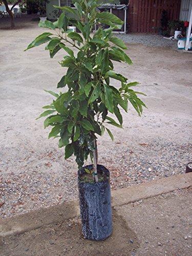kona-sharwill-grafted-avocado-fruit-tree-3-4-ft-tall