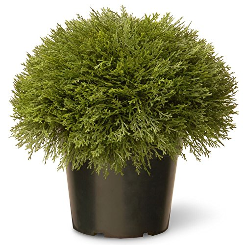 National Tree 15 Inch Juniper Bush in Green Pot (LCB4-700-15-1) (Real Xmas Trees)