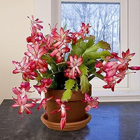 Christmas Cactus Schlumbergera DARK MARIE Hybrid 5 Double Segments