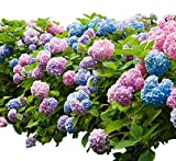 "New Life Nursery & Garden- - Endless Summer Mophead Hydrangea"", Full Gallon Pot"
