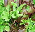 Baby Leaf Lettuce Seeds (Colorful Spring Mix) - 2 SEED PACKETS! - Over 1000 Open Pollinated Non-GMO USDA Organic Seeds