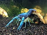 1 Live Electric Blue Crayfish/Freshwater Lobster (2+ Inch Young Adult) by Aquatic Arts