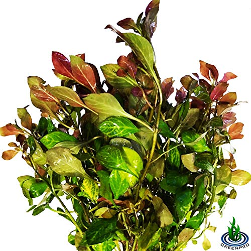 - Greenpro 3-Bundles Ludwigia Repens Ovalis Red Stem Live Aquarium Plants Freshwater Fish Tank