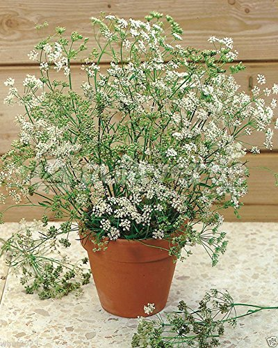 anise seed,Sweet Cumin (Pimpinella Anisum) versatile herb ,Non Gmo Untreated (1000 Seeds) from Pimpinella Anisum