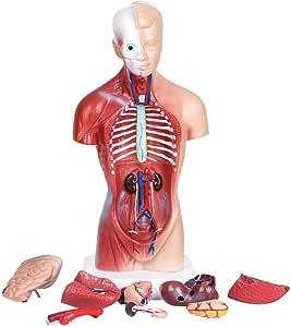 Modelo del Torso Humano 28CM órganos internos Humanos