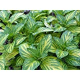 """Ginger Mint - Grow Indoors or Out - 4"""" Pot - Indoors or Out"""